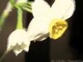 Goleh Narges - Nasheed - Persian