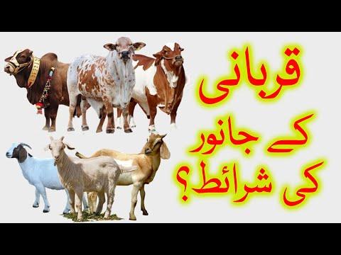 🎦  عید قربان 4 | قربانی کے جانور کی اہم صفات کونسی ہیں؟ - Urdu