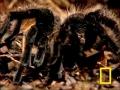 Giant Tarantula - English