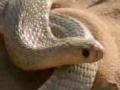 Cape Cobra hunting technique - Serpent - English