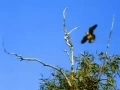 Animal Olympians - Sprint - Peregrine Falcon - English