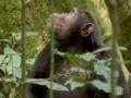 Ugandan chimps hunting - English