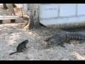Domestic Cat Attacks Alligator - All Languages
