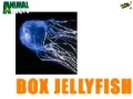 Animal Facts - Box Jellyfish - English