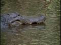 American Crocodiles - English