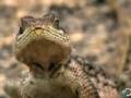Lizards Hunt on Sleepy Lions - English