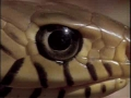 Cobra vs. Rat Snake - English