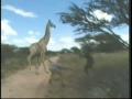 Giraffe Capture - English