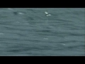 record flying fish seen-english
